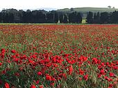 Poppies landscape