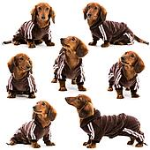 dachshund in a sports suit