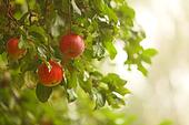 Red apple growing on tree. Natural products.
