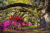 Charleston SC Spring Bloom Azalea Flowers South Carolina Plantat