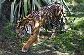 Wildlife and Animals - Tiger