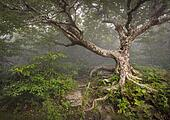 Creepy Fairytale Tree Spooky Forest Fog Appalachian NC Fantasy Landscape at Craggy Gardens in the Blue Ridge Mountains near Asheville North Carolina